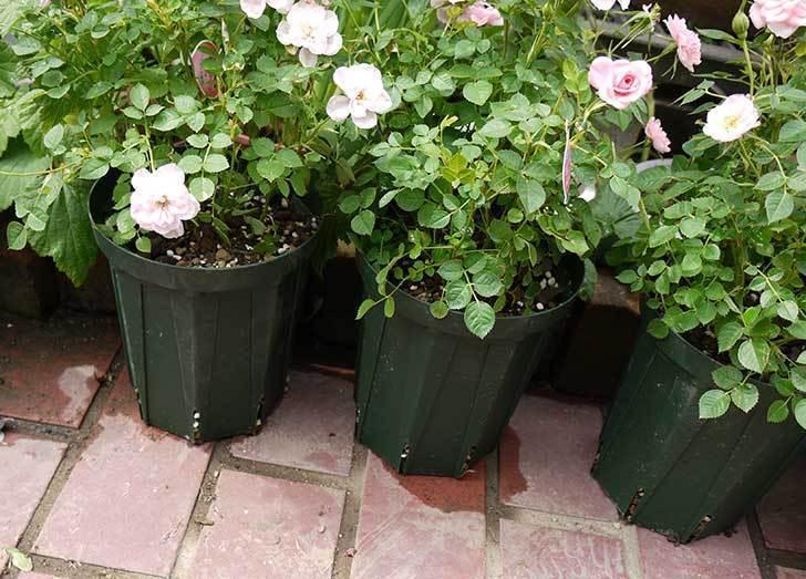 ミニバラ-ミスピーチ姫をスリット鉢に植えた5.jpg