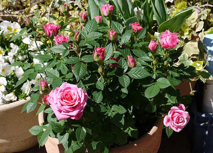 ミニバラ3個を鉢に植えた1.jpg