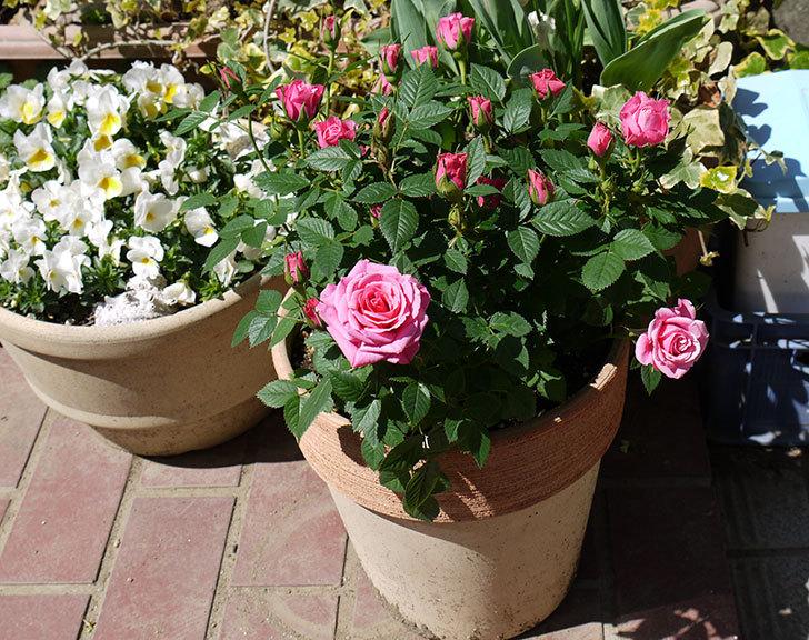 ミニバラ3個を鉢に植えた2.jpg