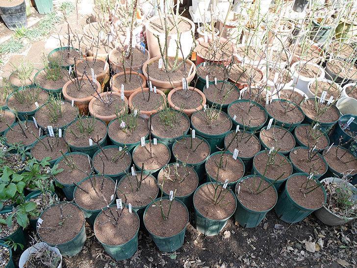ミニバラの植え替えと冬剪定がやっと終わった。2018年-1.jpg