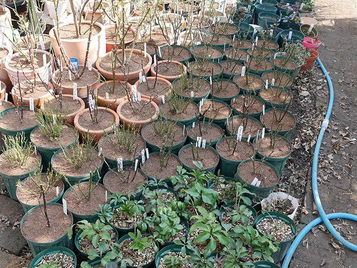 ミニバラの植え替えと冬剪定がやっと終わった。2018年-2.jpg
