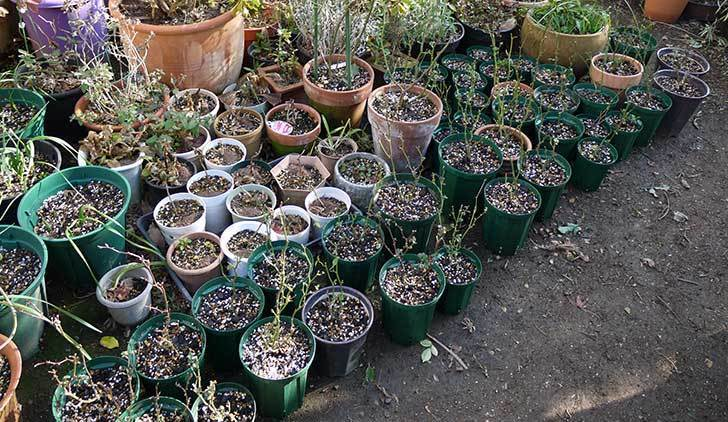 ミニバラを1本ずつにバラして植え替えたら48鉢になった。2016年-1.jpg