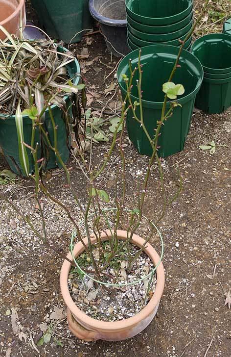 ミニバラを1本ずつにバラして植え替えたら48鉢になった。2016年-10.jpg