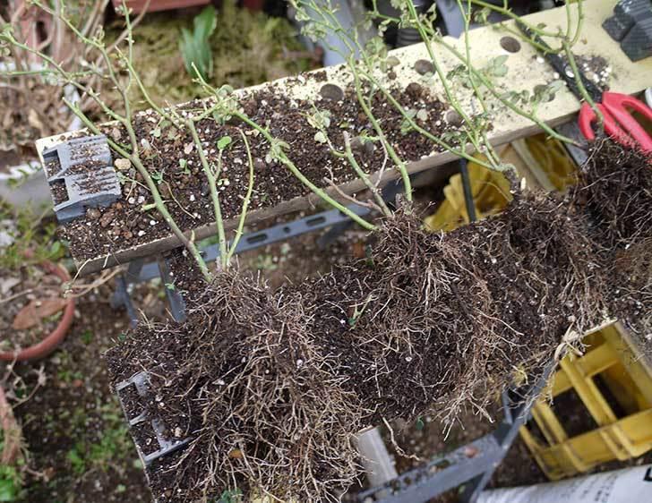 ミニバラを1本ずつにバラして植え替えたら48鉢になった。2016年-16.jpg
