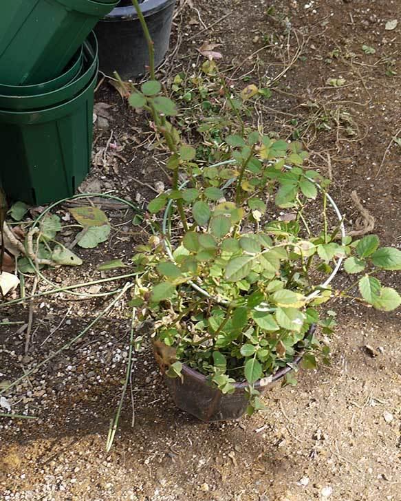ミニバラを1本ずつにバラして植え替えたら48鉢になった。2016年-18.jpg