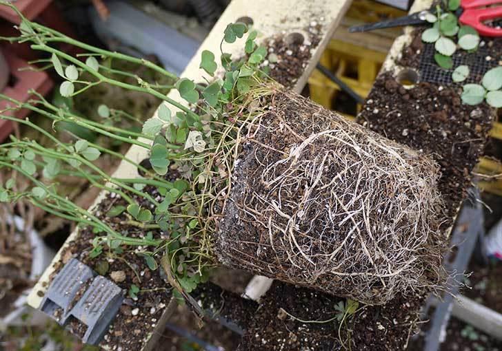 ミニバラを1本ずつにバラして植え替えたら48鉢になった。2016年-19.jpg