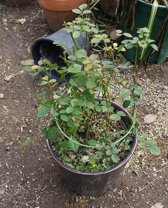 ミニバラを1本ずつにバラして植え替えたら48鉢になった。2016年-2.jpg