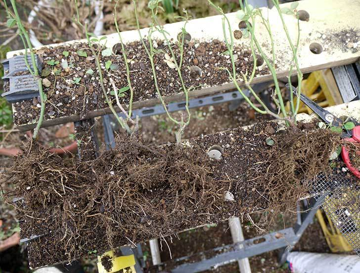 ミニバラを1本ずつにバラして植え替えたら48鉢になった。2016年-20.jpg