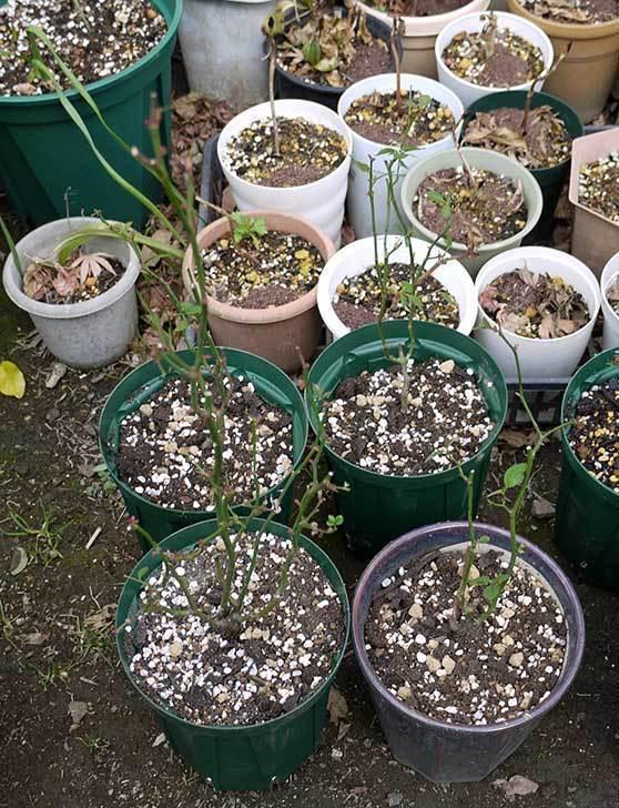 ミニバラを1本ずつにバラして植え替えたら48鉢になった。2016年-21.jpg