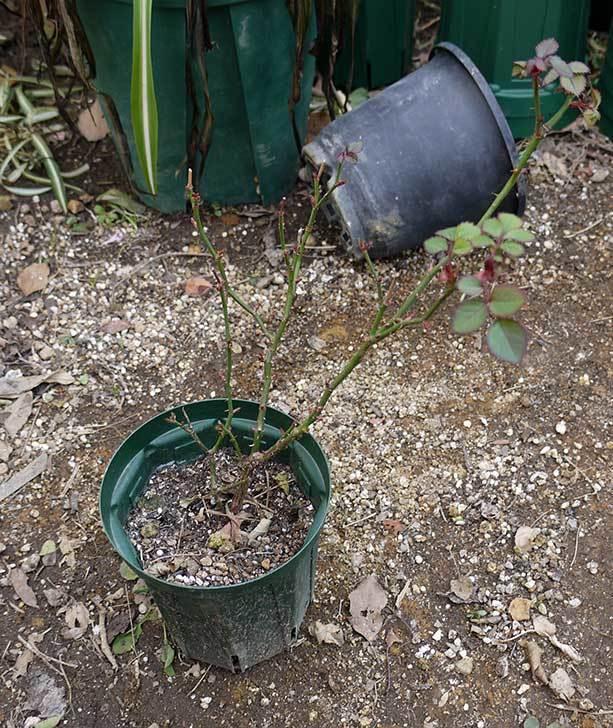 ミニバラを1本ずつにバラして植え替えたら48鉢になった。2016年-22.jpg