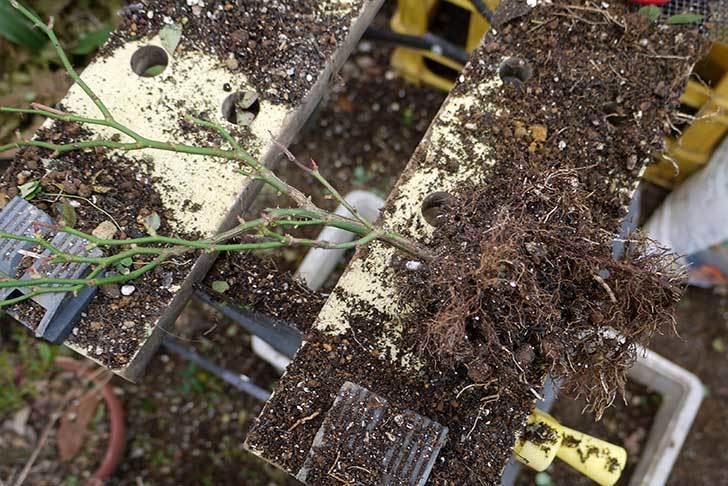 ミニバラを1本ずつにバラして植え替えたら48鉢になった。2016年-24.jpg