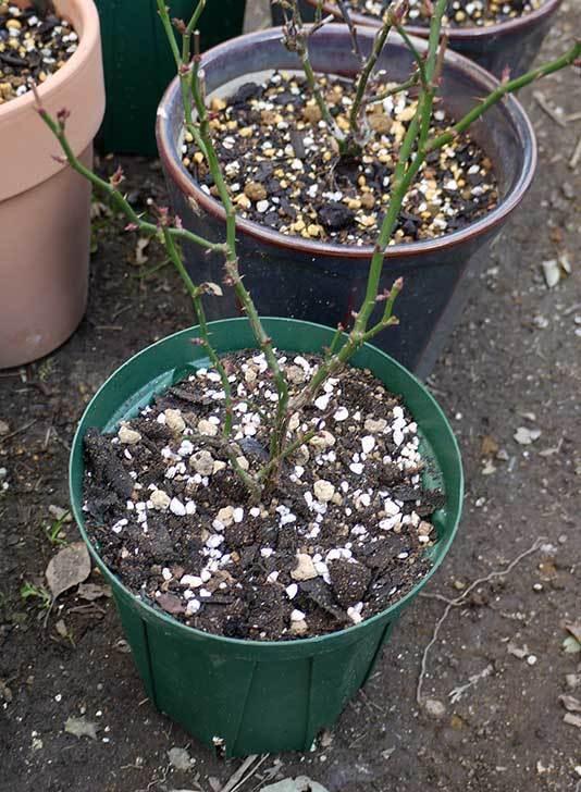 ミニバラを1本ずつにバラして植え替えたら48鉢になった。2016年-25.jpg