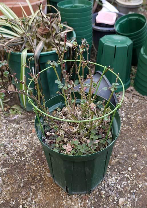 ミニバラを1本ずつにバラして植え替えたら48鉢になった。2016年-26.jpg