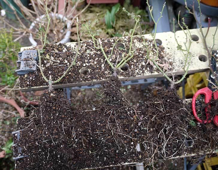 ミニバラを1本ずつにバラして植え替えたら48鉢になった。2016年-28.jpg