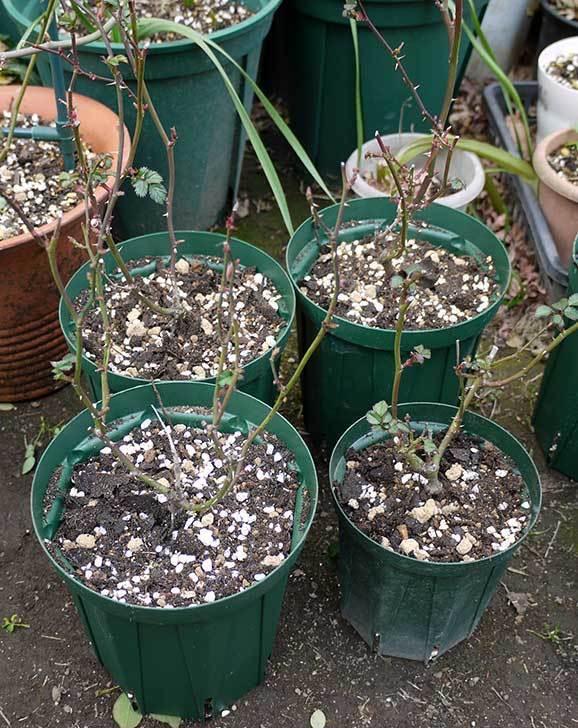 ミニバラを1本ずつにバラして植え替えたら48鉢になった。2016年-29.jpg