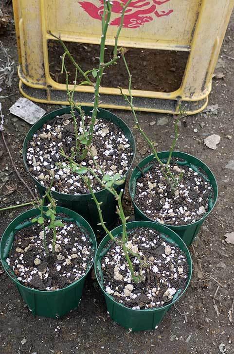 ミニバラを1本ずつにバラして植え替えたら48鉢になった。2016年-33.jpg