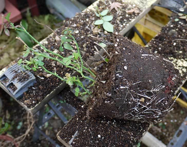 ミニバラを1本ずつにバラして植え替えたら48鉢になった。2016年-35.jpg