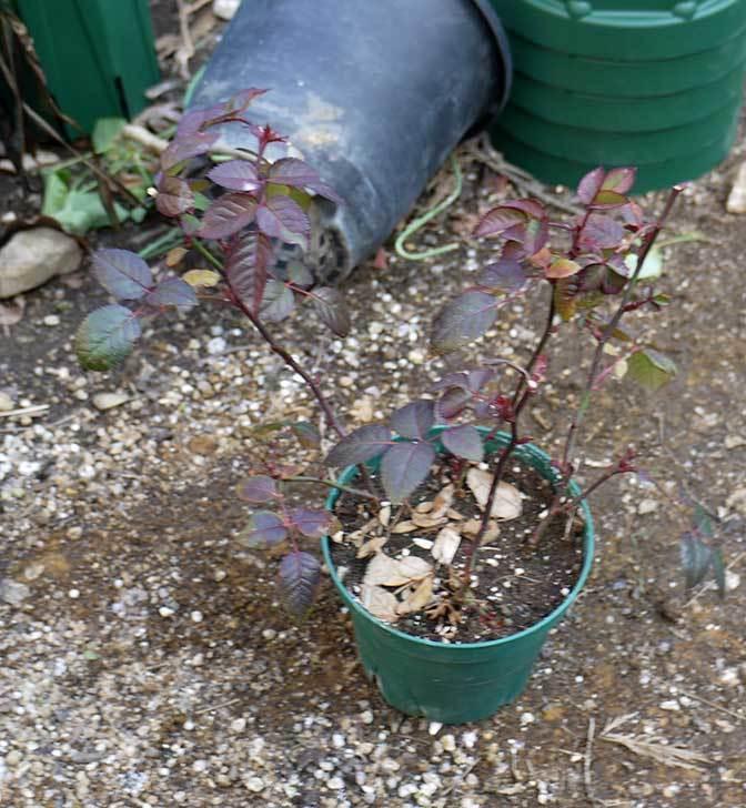 ミニバラを1本ずつにバラして植え替えたら48鉢になった。2016年-38.jpg