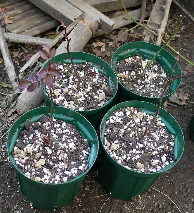 ミニバラを1本ずつにバラして植え替えたら48鉢になった。2016年-41.jpg