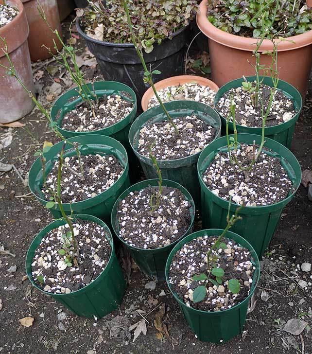 ミニバラを1本ずつにバラして植え替えたら48鉢になった。2016年-5.jpg