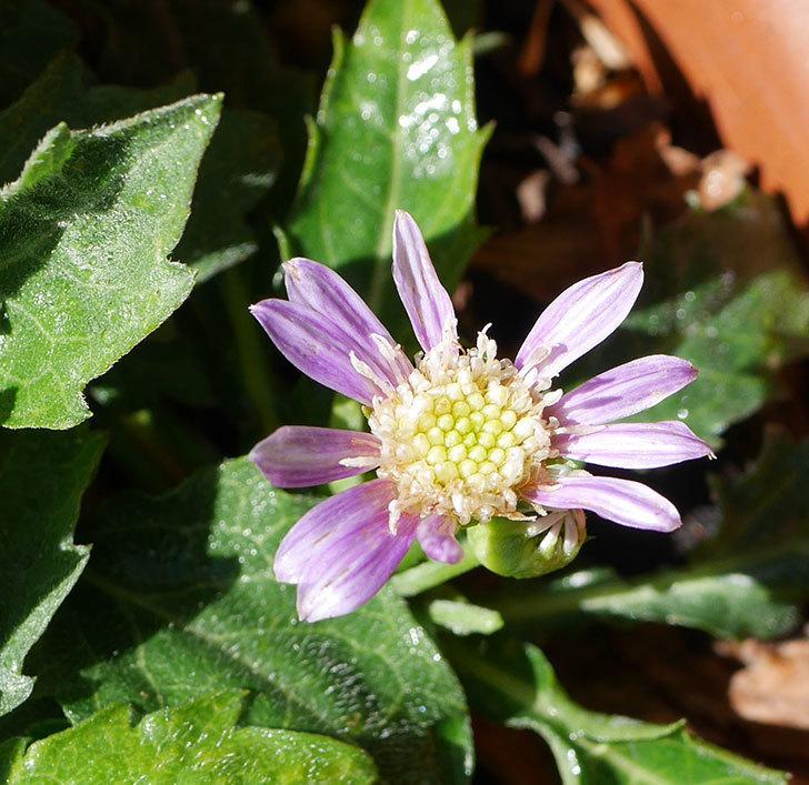 ミヤコワスレ(ノシュンギク)の花が1個咲いた。2020年-2.jpg