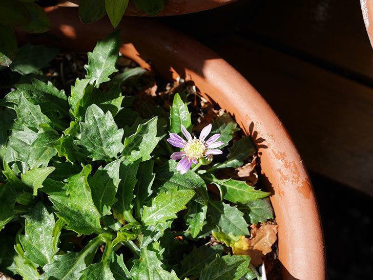 ミヤコワスレ(ノシュンギク)の花が1個咲いた。2020年-3.jpg