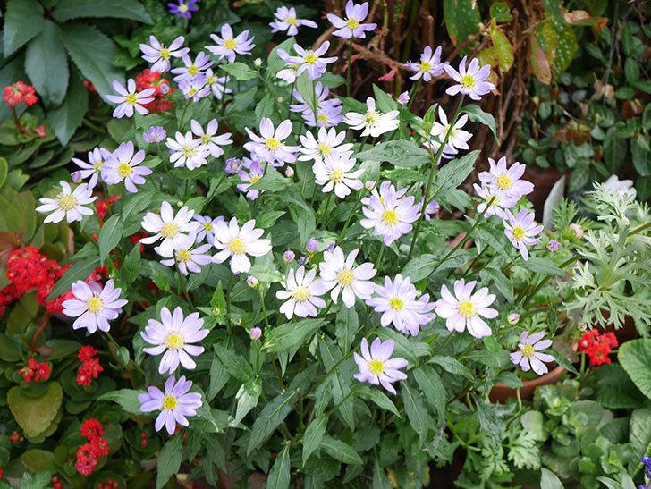 ミヤコワスレ(ノシュンギク)の花がたくさん咲いた。2019年-1.jpg