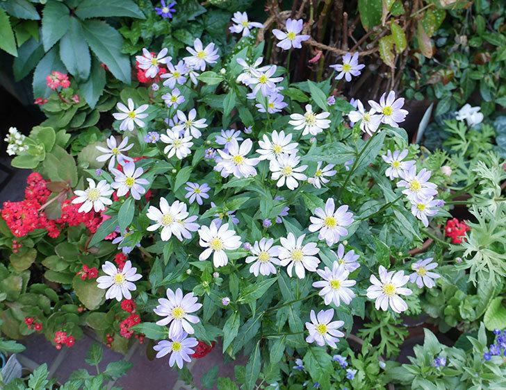 ミヤコワスレ(ノシュンギク)の花がたくさん咲いた。2019年-11.jpg