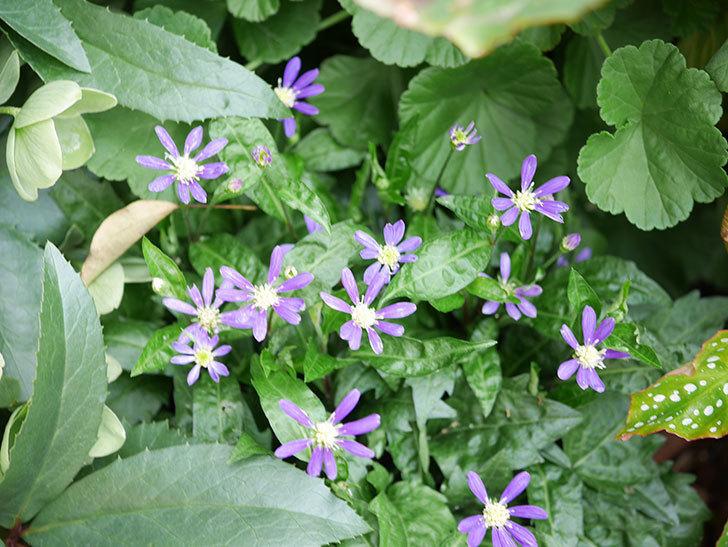 ミヤコワスレ(ノシュンギク)の花がたくさん咲いた。2019年-2.jpg