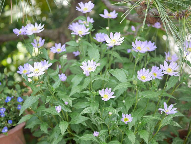 ミヤコワスレ(ノシュンギク)の花がたくさん咲いた。2019年-3.jpg