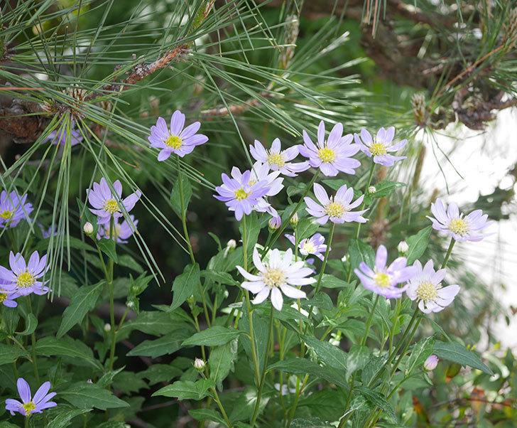 ミヤコワスレ(ノシュンギク)の花がたくさん咲いた。2019年-4.jpg