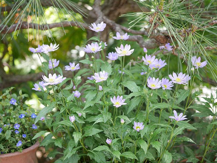 ミヤコワスレ(ノシュンギク)の花がたくさん咲いた。2019年-5.jpg