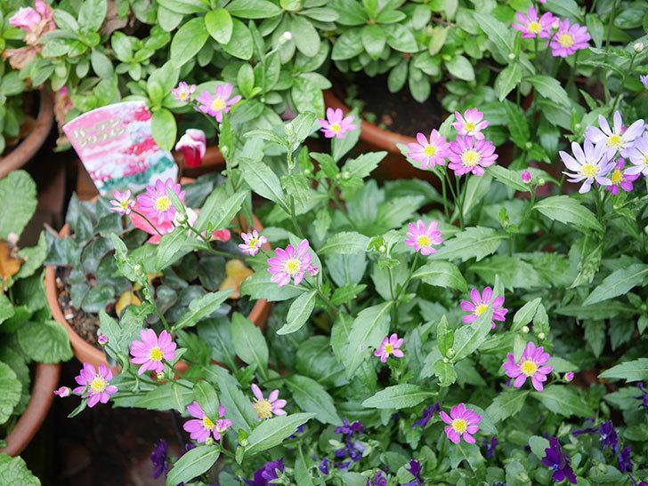 ミヤコワスレ(ノシュンギク)の花がたくさん咲いた。2019年-6.jpg