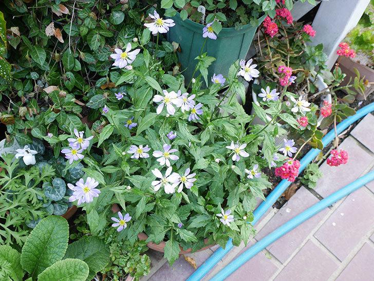 ミヤコワスレ(ノシュンギク)の花がたくさん咲いた。2019年-7.jpg