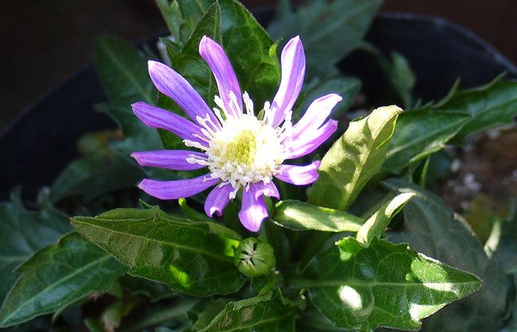 ミヤコワスレ(ノシュンギク)の花が咲いた3.jpg