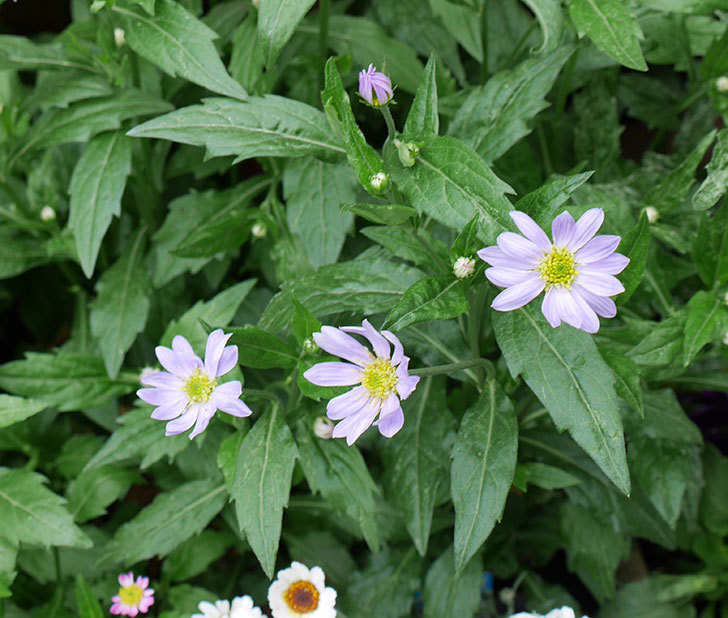 ミヤコワスレ(ノシュンギク)の花が咲いた。2018年-1.jpg