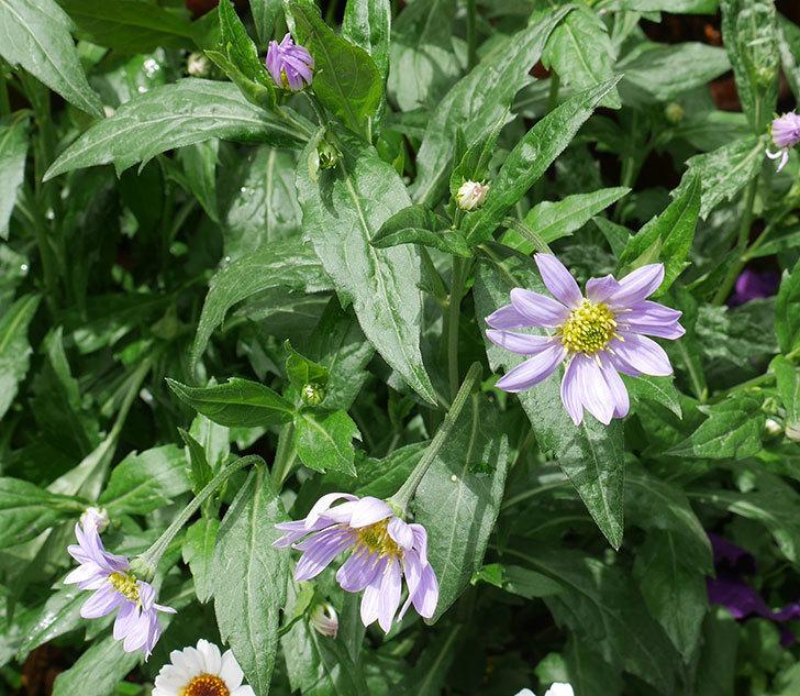ミヤコワスレ(ノシュンギク)の花が咲いた。2018年-5.jpg