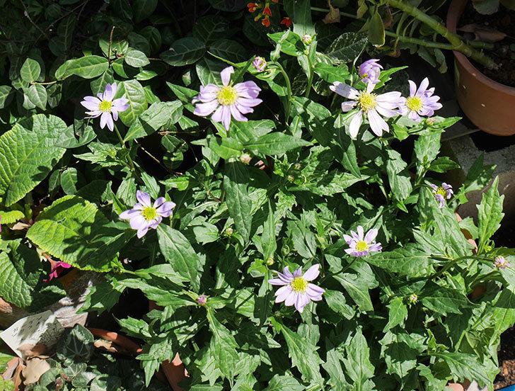 ミヤコワスレ(ノシュンギク)の花が咲いた。2019年-1.jpg