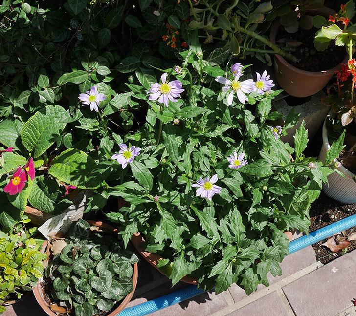 ミヤコワスレ(ノシュンギク)の花が咲いた。2019年-3.jpg