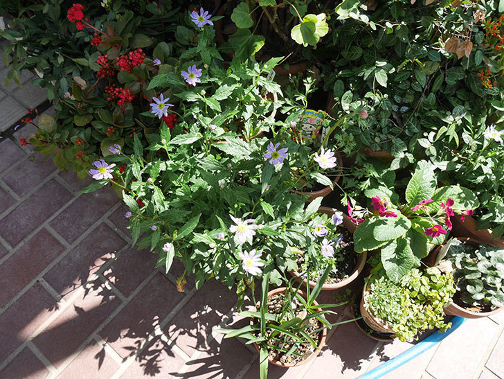 ミヤコワスレ(ノシュンギク)の花が咲いた。2019年-5.jpg