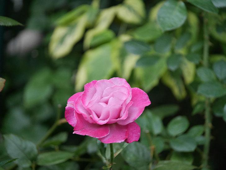ミュリエル・ロバン(Muriel Robin)の2番花がまた1個咲いた。木立バラ。2020年-001.jpg