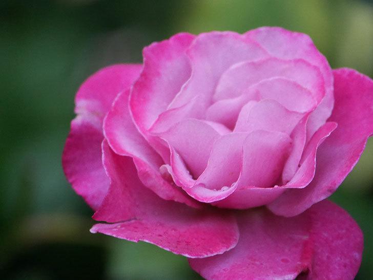 ミュリエル・ロバン(Muriel Robin)の2番花がまた1個咲いた。木立バラ。2020年-002.jpg
