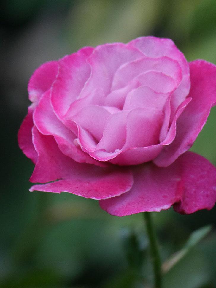 ミュリエル・ロバン(Muriel Robin)の2番花がまた1個咲いた。木立バラ。2020年-003.jpg