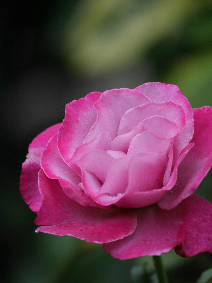 ミュリエル・ロバン(Muriel Robin)の2番花がまた1個咲いた。木立バラ。2020年-004.jpg