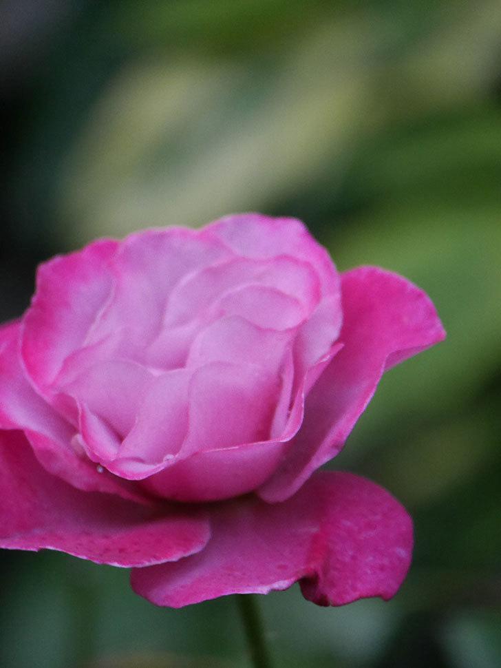 ミュリエル・ロバン(Muriel Robin)の2番花がまた1個咲いた。木立バラ。2020年-005.jpg