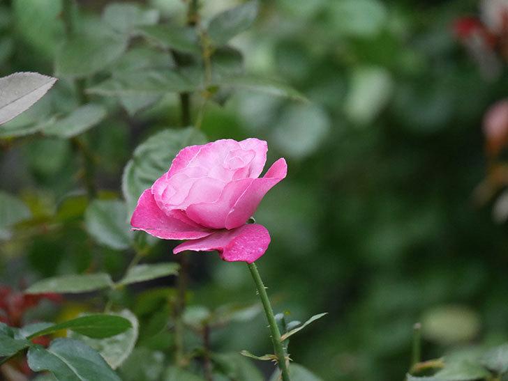 ミュリエル・ロバン(Muriel Robin)の2番花がまた1個咲いた。木立バラ。2020年-007.jpg