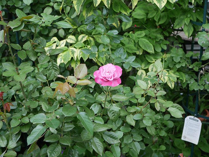 ミュリエル・ロバン(Muriel Robin)の2番花がまた1個咲いた。木立バラ。2020年-009.jpg