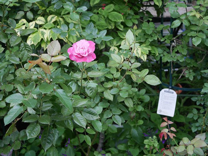 ミュリエル・ロバン(Muriel Robin)の2番花がまた1個咲いた。木立バラ。2020年-010.jpg