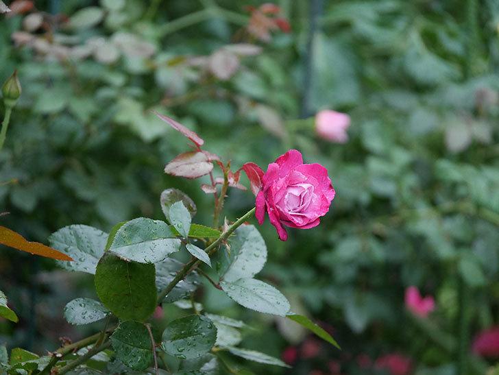 ミュリエル・ロバン(Muriel Robin)の2番花がまた咲いた。木立バラ。2020年-001.jpg