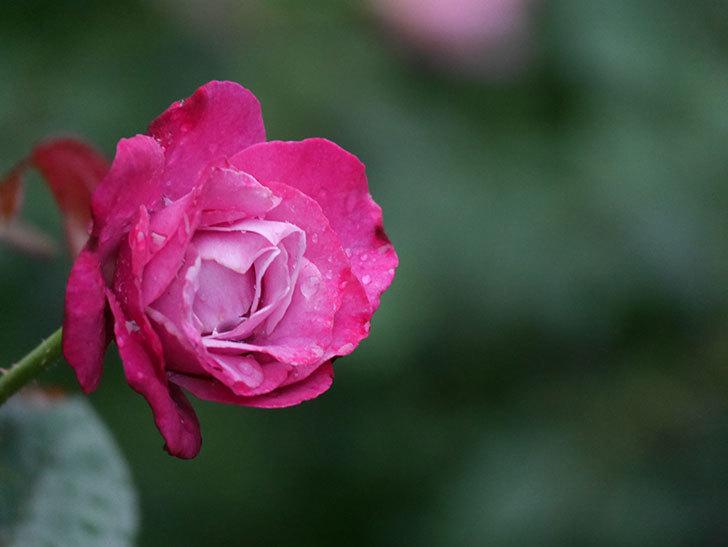 ミュリエル・ロバン(Muriel Robin)の2番花がまた咲いた。木立バラ。2020年-002.jpg